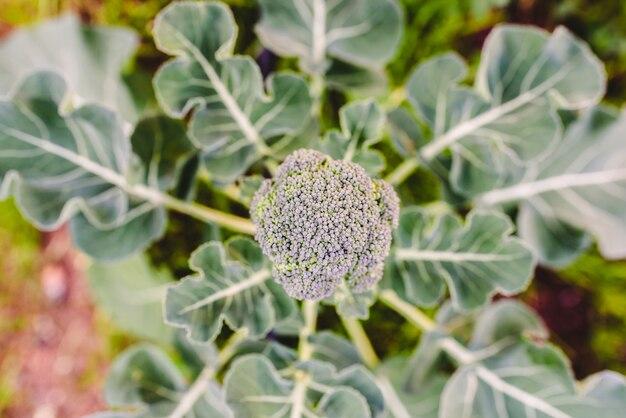 ブロッコリーの植物、brassica oleracea、その食用の頭を収集する準備ができて、ビタミンcと健康的な栄養素で最も豊富な野菜のうちの1つ。