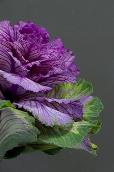 Brassica oleracea capitata or decorative cabbage on a grey background, greeting card or concept