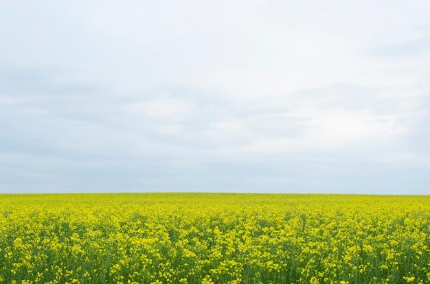 Желтые цветы рапса (лат. brassica напиться) против голубого неба