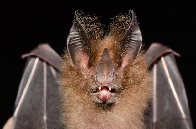 브라질 박쥐, micronycteris megalotis의 초상화