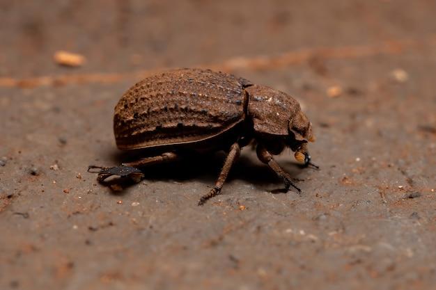 Omorgus suberosus 종의 브라질 가죽 딱정벌레