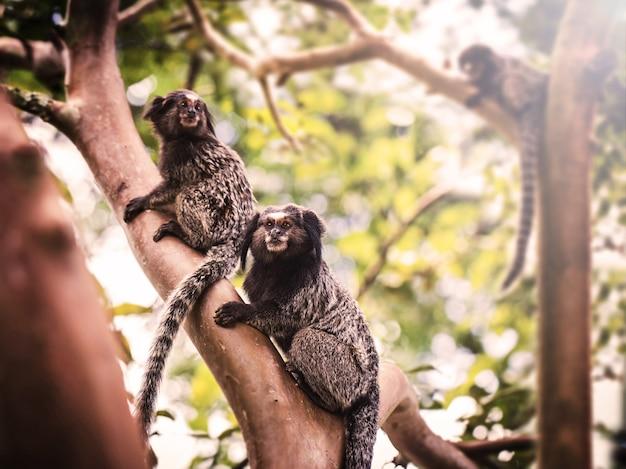 ブラジルのライオンタマリンモンキー、南アメリカからの絶滅危惧種。