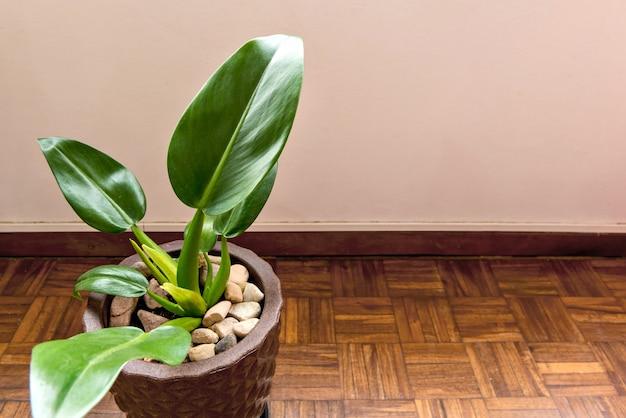브라질 파코바 실내 식물, 녹색 식물 파코바.