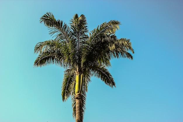 Бразильская пальма