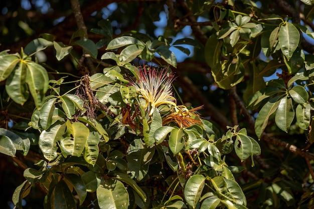 파치라 아쿠아티카 종의 브라질 제공 나무