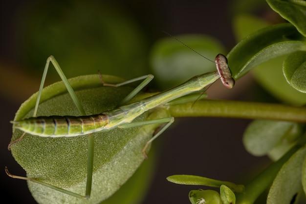 Бразильские маленькие самцы богомолов из рода oxyopsis в деталях с выборочным фокусом