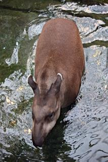 Brazilian tapir walking in water