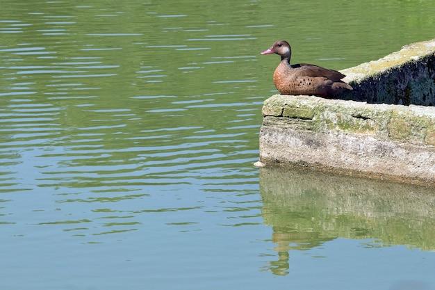 Brazilian teal resting on lake shore moat wall
