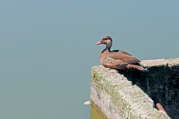 Brazilian teal resting on lake shore moat wall