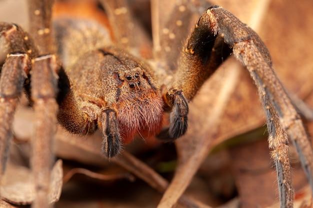 ブラジルのシボグモ