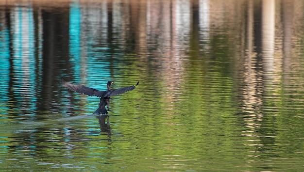 美しい湖に上陸するブラジルの水鳥、その生息地であるブラジルの湖と湿地、自然光、選択的な焦点。