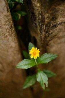 브라질 옐로우 필드 데이지 꽃