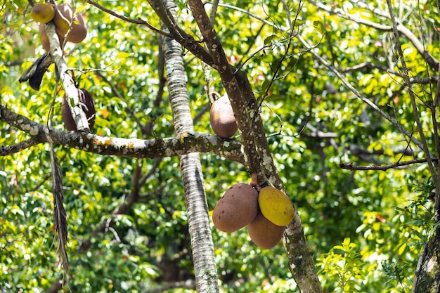 モーリシャス島のパンノキの木