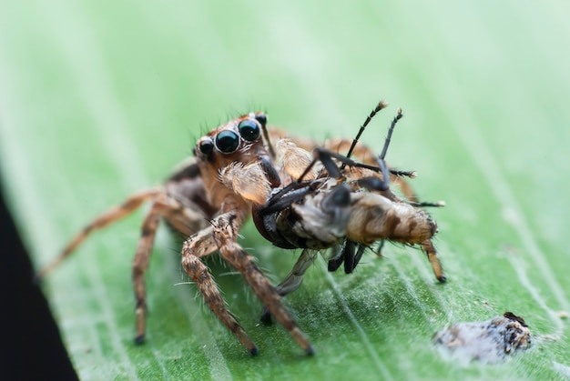 점프 거미의 아침 식사