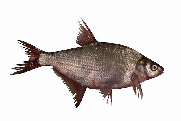 도미 물고기 흰색 절연