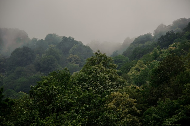 Breathtaking landscape of the green trees forest covered by the fog