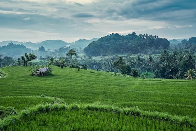 Захватывающий пейзаж рисовой террасы на бали