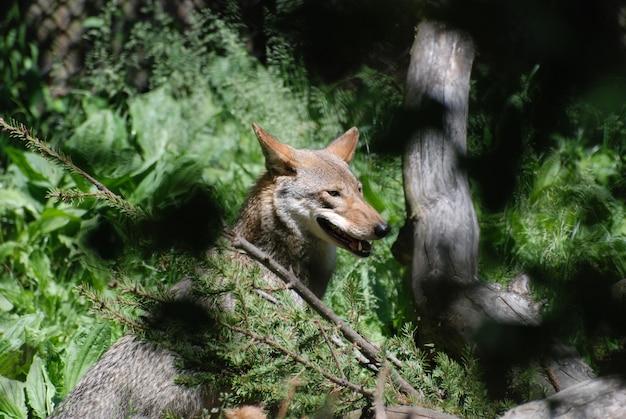 Lupo di legno multicolore mozzafiato che si gode la natura selvaggia