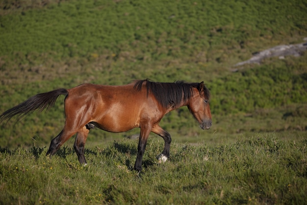 スペイン、ガリシアの野原を走る野生の茶色の馬の息を呑むような選択的なフォーカスショット