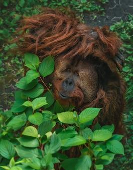 枝に隠れている愛らしいオランウータンの息を呑むようなショット