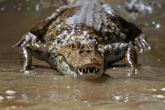 Breathtaking view of a hungry big alligator going out from a water