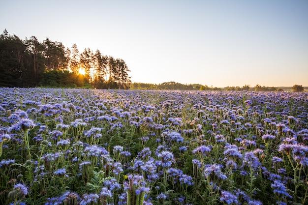 夜明けのファセリア畑の息を呑むような景色