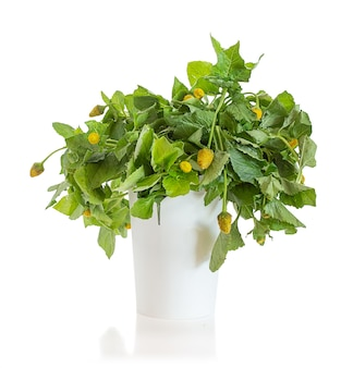 Bredes mafane (acmella oleracea), edible leaves for creole cuisine in a jar on a white background