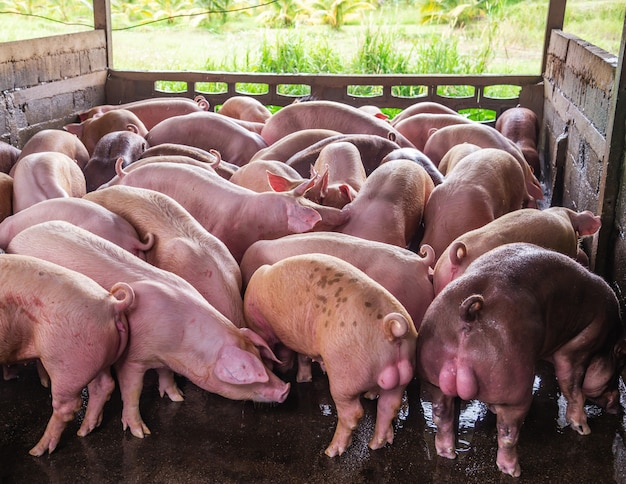 Breeder pink pigs on a farm