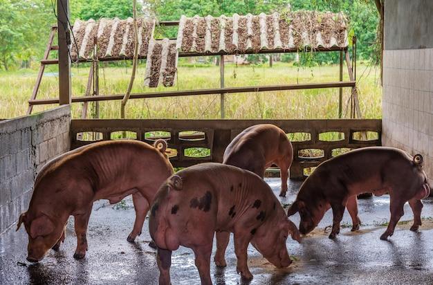 Заводчик розовых свиней на ферме