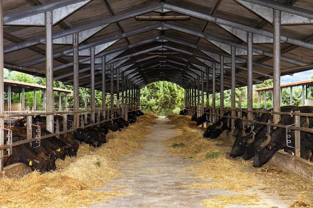 우유 생산에 사용되는 이탈리아 남부의 bufale campane 번식