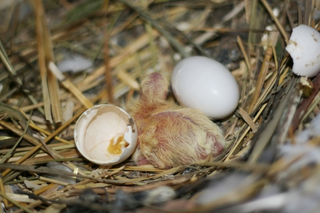 Breeding pigeons. chick just hatched from egg