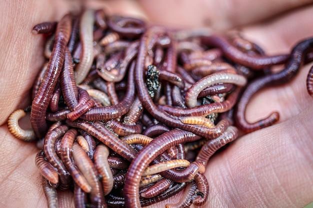 번식 붉은 벌레 dendrobena. 비옥 한 땅. 자연 토양 개량. 낚시 벌레.