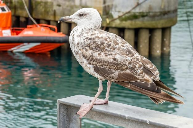 Breeding seagull in the port