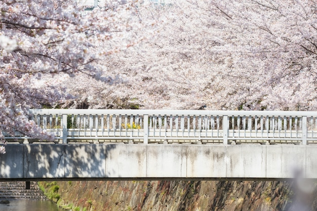 Bridge surround by cherry blossom or sakura
