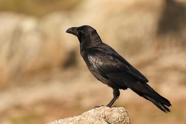 Brigh black plumage of a crow