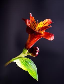 Bright alstroemeria flower on a black background.