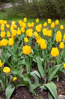 明るくカラフルな黄色いチューリップが春の屋外に咲きます