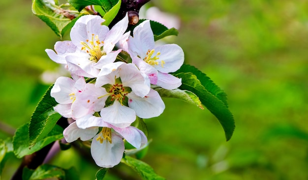 Bright apple flowers in sunny weather