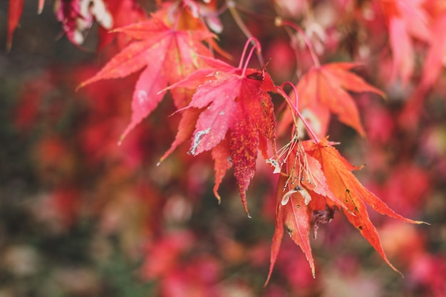 Bright autumn background with red japanese maple