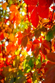 Bright autumn colors. colorful leaves of ornamental grapes at sunny day.