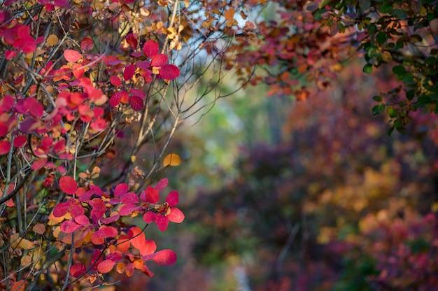 연기 나무의 붉은 색과 오렌지색 잎 밝은 가을 숲