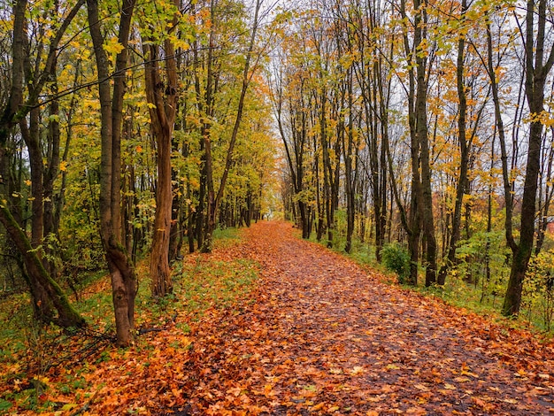 Bright autumn. maple alley with fallen leaves.