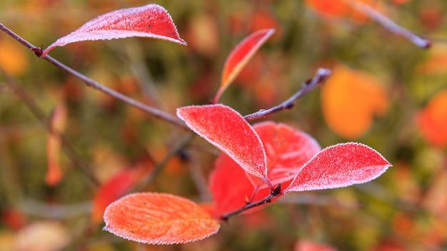 밝은 가을 붉은 잎 클로즈업은 첫 번째 서리, 얕은 피사계 심도로 덮여 있습니다. 가 잎가 배경, 배너입니다.