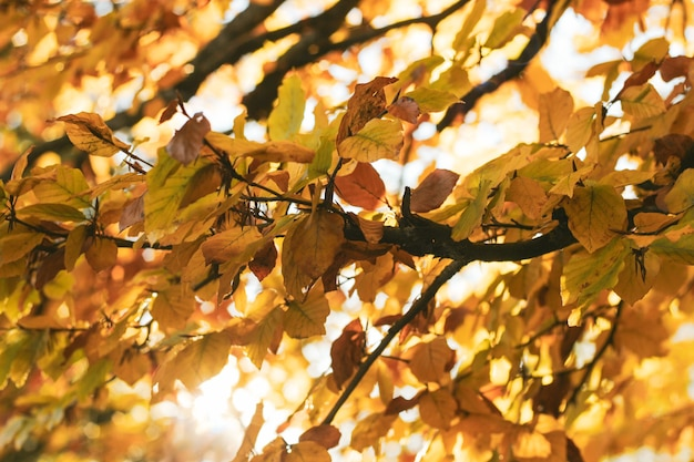 Яркая осень с оранжевыми листьями беспорядка из вяза или березы в лучах солнца