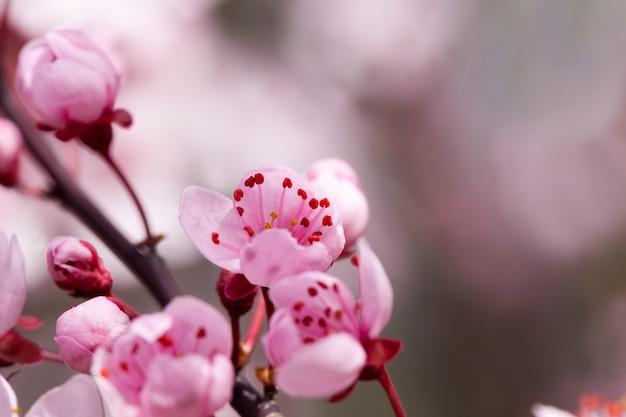 과수원에서 붉은 벚꽃의 밝고 아름다운 꽃