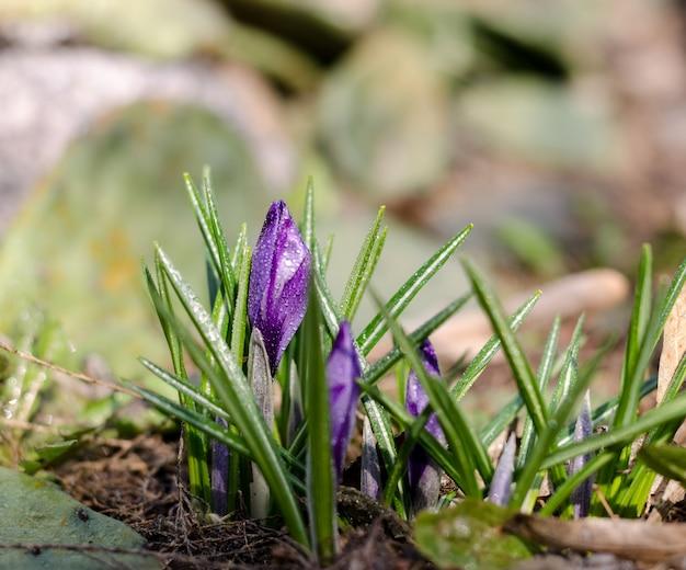밝고 아름다운 보라색 크로커스 꽃. 아침 이슬 아래 첫 봄 꽃입니다. 봄 계절 동화 배경입니다. 부활절 인사말 카드의 계절 벽지에 좋습니다.