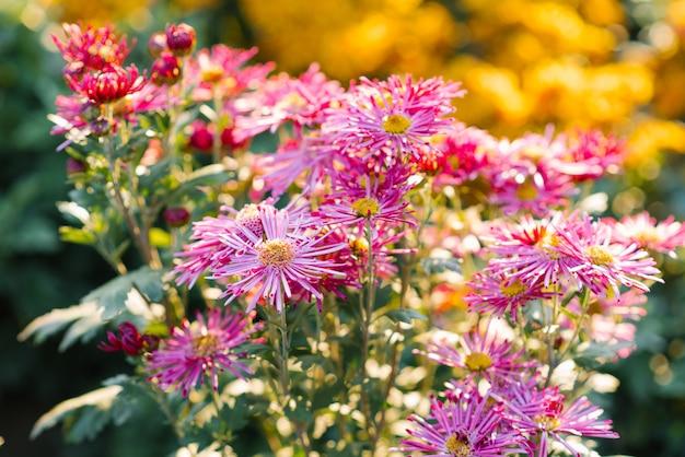 秋に咲く庭で明るく咲く菊