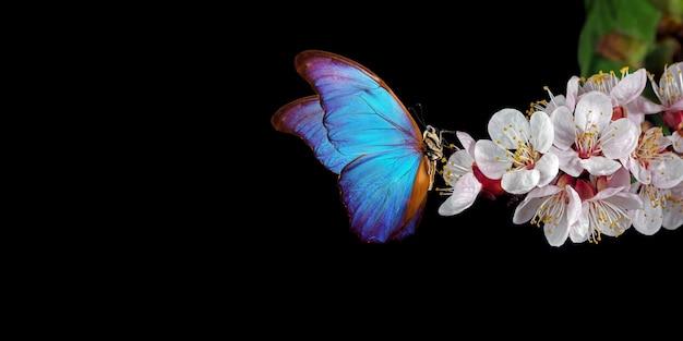 白い春の花に明るい青いモルフォ蝶。黒で隔離されるアプリコットの花の枝。コピースペース