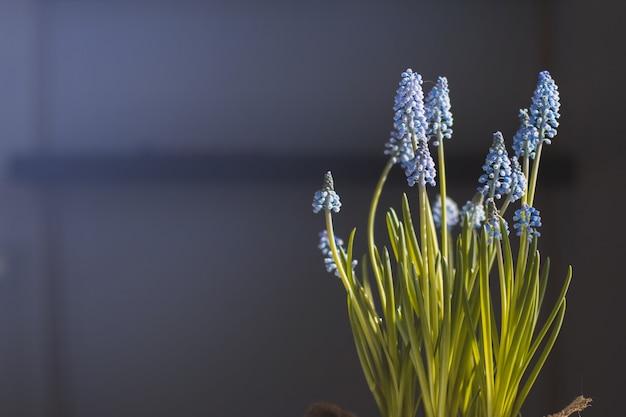 Яркие синие весенние цветы в горшке с размытым фоном.