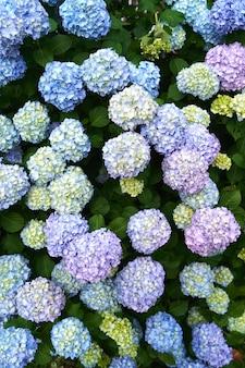 녹색 부시에 밝은 파란색 노란색과 보라색 수국 꽃